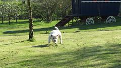 Westie fun in the sun (Artybee) Tags: westie westitude samson sunny fun ball fetch
