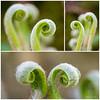 Varen - Fern (Adri Rovers) Tags: planten bestofnetherlands dutchconnextion dutchnaturelover instanetherlands lovesnetherlands macro mfvnl natuurfotografie pril varen