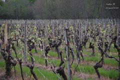 Du travail pour demain (Cognacpomme (17 souche 44) ❀) Tags: vigne ceps lattes pousses