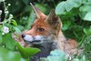 Urban Red Fox........ (law_keven) Tags: fox foxes animals animal mammals catford england gardens wildlife wildlifephotography photography urbanredfox redfox