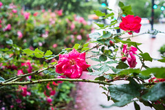 Capitol Blooms (Phil Roeder) Tags: washingtondc roses flowers leica leicax2