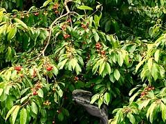 lecker kirschen (eigi11) Tags: kirschen cherry tree baum grün green hss