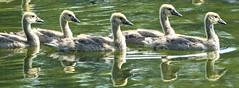 5 Canada Goslings in a row (Songbill) Tags: forestpark stlouis birding goose canadagoose brantacanadensis