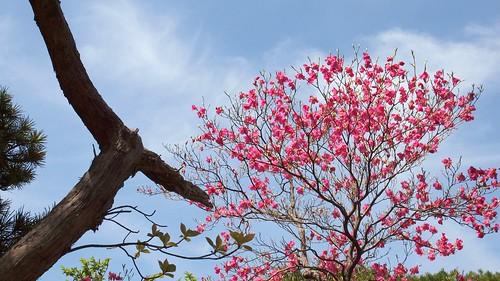 Rhododendron quinquefolium