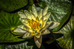 Light on the Lily (Pejasar) Tags: waterlily yellow water pond childrensgarden tulsabotanicalgarden tulsa oklahoma bloom flower painterly digitalcreations art artistic
