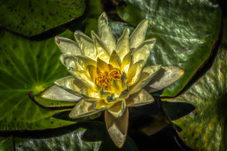 Light on the Lily