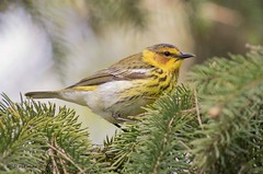 Cape May Warbler Male (rosemaryharrisnaturephotography) Tags: capemaywarbler warbler capemay green rosemaryharris canon7dmk11 canon400mmf56seriesllens migration nature wildlife ontario alittlebeauty ngc coth5 npc fantasticnature