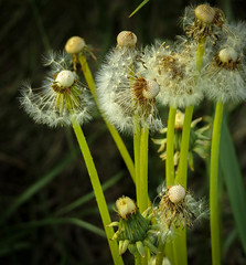 weeds -1 (Queen Bee Deb) Tags: weed garden newhamburg ontario canada ca dandelions dandelion seeds downy yellow