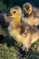 Goslings (begineerphotos) Tags: goose geese canadagoose canadageese gosling grass yellow friendlychallenges beginnerdigitalphotographychallengewinner