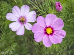 Au coeur du Cosmos... (Philippe Bélaz) Tags: d800e proxy contrastes cosmos fleurs flore flores nature natures pourpre printemps violet
