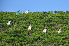 India - Kerala - Munnar - Tea Harvest - 53 (asienman) Tags: india kerala munnar teaplantagen asienmanphotography