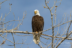 Bald Eagle watching a dog on the ground nearby