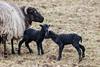Birthday - Heidschnucke Schaf (bohnengarten) Tags: schweiz swiss switzerland eos 80d haustier pet schaf sheep heidschnucke lamm lamb