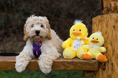 "Happy Easter everyone! - Explored #51 (twinnieE) Tags: dogphotographer pooch doggy dog ""cockerpoopuppy"" cockerpoo puppy doodle dolly"