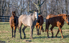Horses of Kentucky (JuanJ) Tags: nikon d850 lightroom art bokeh nature lens light landscape white green red black pink sky people portrait location architecture building city iphone iphoneography square squareformat instagramapp shot awesome supershot beauty cute new flickr amazing photo photograph fav favorite favs picture me explore interestingness wedding party family travel friend friends vacation beach horse kentucky lexington fayette county 2018 bluegrass march grass farm fence thoroughbred