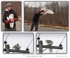 Harfang des neiges / Snowy Owl / Bubo scandiacus / Ukpik (FRITSCHI PHOTOGRAPHY) Tags: harfangdesneiges snowyowl buboscandiacus ukpik uqrop seffaucons