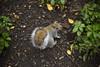 IMG_5110 (gungorme) Tags: nature doğa tabiat animal animals hayvanlar sincap squirrel park london unitedkingdom uk england londra ingiltere pretty beauty beautiful