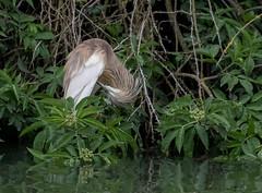 08 04 2018 (cathyk31) Tags: oiseau crabierchevelu ardeolaralloides ardéidés pélécaniformes squaccoheron bird