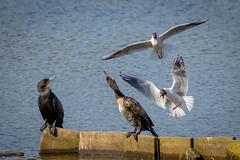 Surprise Attack ! (DP the snapper) Tags: cormorant worcestershirewildlifetrust birds bird uptonwarren blackheadedgull sound attack