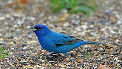 pretty in blue (Dianne M.) Tags: indigobunting nature outside backyard seeds bird feeding florida