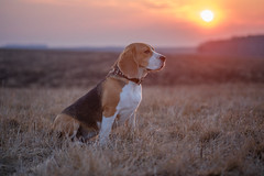 Beagle dog on a walk in the spring at sunset (androsoff) Tags: beagle dog black brown clouds field hunter nature pet rays sky spring sunset tricolor walk white animal background blue charming collar cute cyan evening leash look march portrait sunny beautiful outdoor hunting outdoors pedigree park leaf paws breed landscape pink pedigreed thawedsnow space sun snow purple eyes happy canine friend