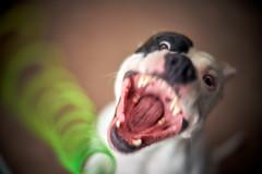 DSC08303 (Sebastopol Dog Park) Tags: mitakonzhongyi50mmf095 50mmf095 dog dof action jump catch slinky green teeth toy sony sonya7r3 a7r3 openaperture arlendean