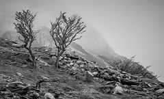 Gnarled & Exposed (kieran_metcalfe) Tags: 80d snowdonia landscape nature mist mountains canon penypass haze wales tree cloud llanberis ridge fog gnarled countryside trees recession
