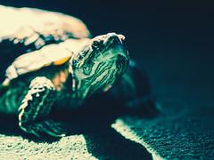 ___🐢___ (0sire) Tags: redearedslider turtle green portrait bokeh light sun trachemysscriptaelegans