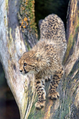 Getting down the tree by Tambako the Jaguar - One of the cheetah cubs getting down a tree...