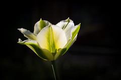 glowing (++sepp++) Tags: frühling graben bayern deutschland de tulip tulpe makro macro macroshot makroaufnahme lowkey blüte blossom gegenlicht backlight backlit nahaufnahme closeup spring april