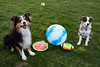 Puppy smiles <3! Say cheese! :D (Angel_Photos) Tags: natural backyard puppy green color smiles happiness love bestfriends best friends frisbee football australian shepherd