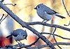 Tufted Titmice (Anne Ahearne) Tags: tufted titmouse gray grey bird nature wild animal wildlife tree pair mate titmice birds