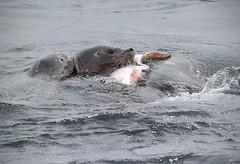 Harbor Seals with a meal (AdititheStargazer) Tags: harborseals pacificgrove california