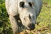 Indian one-horned rhino (bursar103) Tags: indianonehornedrhino rhino kaziranga indianwildlife