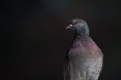 Burning gaze (Michel Couprie) Tags: oiseau bird pigeon animal portrait nature eye canon eos 7d couprie ef100mmf28lismacro