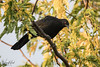 White-winged Chough (Warren Rowland) Tags: bird stranger pond canberra australia avain perched white winged chough