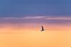Seagull @ Disko Bay (dawvon) Tags: greenlandsea greenland sunrise sunset nature midnightsun nordic wildlifephotography ilulissat arcticocean twilight diskobay arcticcircle bird qaasuitsup magichour animals seagull europe atlanticocean travel dawn diskobugten dusk goldenhour grønland gull halflight jacobshaven jakobshavn kalaallitnunaat qaasuitsupkommunia qeqertarsuuptunua wildlife qaasuitsupkommune