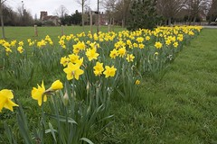 Springtime blooms (Bruce82) Tags: yellow flower bloom springtime chelmsford springfieldgreen daffodils 57 57of118 118picturesin2018 stems canoneos70d efs1018mmf4556isstm villagegreen