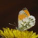 Anthocharis cardamines ♂ - Orange tip (male) - Зорька (самец)
