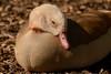 Egyptian goose - Sleep (Ratsiola) Tags: egyptian goose geese nature wildlife birds environment natural world