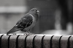 Handsome Pigeon (PorcynFoodCo) Tags: pigeon bird black white mono wildlife urban