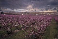 Campos de primavera. (antoniocamero21) Tags: árboles melocotoneros nubes tormenta rural color foto sony primavera rosa flores casas aitona lleida catalunya
