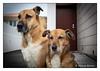 Friends (Joao de Barros) Tags: joão barros animal portrait dog