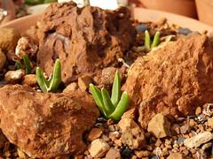 Glottiphylum persii