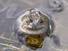 Frogs, Shetland, 2018 (Crieffy.) Tags: frog frogs shetland d500 nikon