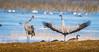Nice dancemooves (m3dborg) Tags: crane cranes dance dancing hornborgasjön wings water bird animal wildlife wilderness nature pose posing
