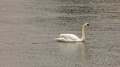 Shustoke Reservoir 1st April 2018 (boddle (Steve Hart)) Tags: stevestevenhartcoventryunitedkingdomcanon5d4 shustoke reservoir 1st april 2018 steve hart boddle steven bruce wyke road wyken coventry united kingdon england great britain canon 5d mk4 6d 100400mm is usm ii 85mm f14 prime wild wilds wildlife life nature natural bird birds flowers flower fungii fungus insect insects spiders butterfly moth butterflies moths creepy crawley winter spring summer autumn seasons sunset weather sun sky cloud clouds panoramic landscape unitedkingdom gb