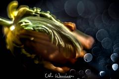 Tulpe, Orange Pappagei (udo w-a-n-n-i-n-g-e-r) Tags: blumen blumenwanninger bokeh bokehlicious flora manualfocus pflanzen vintagelens beautiful beyondbokeh blur bokehgraph depthoffield detail dof dreamy extremebokeh flower flowers garden greatphotographers macro macrotube macros manual manualexposure manualfocusing manuallens manualondigital mth nature ngc petals preset primelensprime silkybokeh smooth smoothbokeh udowanninger vintage lens focus spring