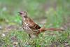 Brown Thrasher (Kevin James54) Tags: brownthrasher nikond850 tamron150600mm toxostomarufum wilmington animals avian bird kevingianniniphotocom