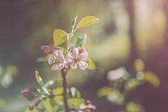 Spring sunshine (Ro Cafe) Tags: spring springtime blooms blooming flowers garden nature sunshine green pink nikkor2470f28 nikond600